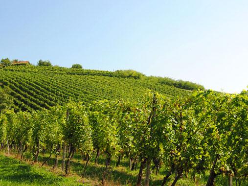 WineSlovenia_Bizeljsko_Vines1