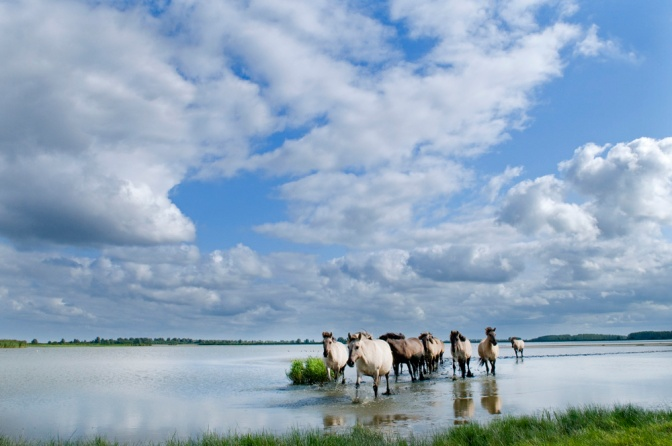 konikpaarden_lauwersmeer_friesland